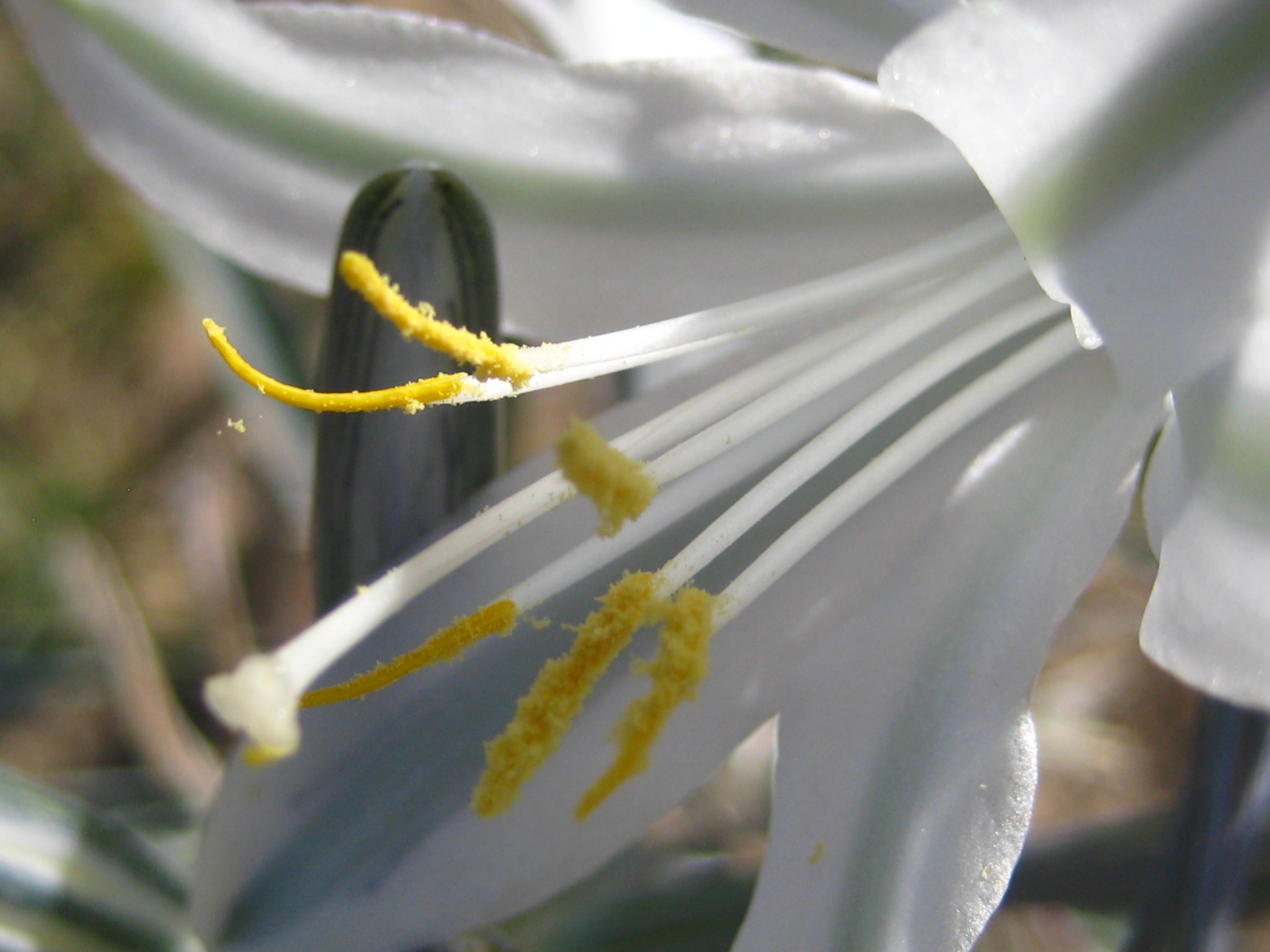 Photo of a desert lily
